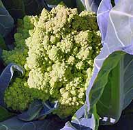 Broccoli Romanesco